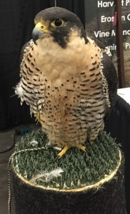 March Blog Post Symposium Falcon Pic
